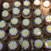 Daisy cupcakes for the Brownie Troops.